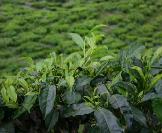 Anbau - Die Kaffeepflanze