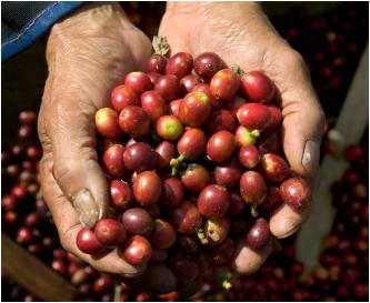 Kaffee-Ernte - Die Stripping-Methode