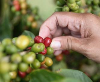 Kaffee-Ernte - Die Picking-Methode
